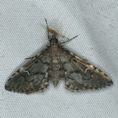 Metasia capnochroa (Smokey Metasia Moth) at Rosedale, NSW - 15 Nov 2019 by jbromilow50