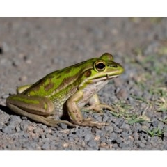 Litoria aurea (Green and Golden Bell Frog) at Kioloa, NSW - 16 Nov 2019 by kdm