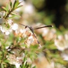 Gasteruption sp. (genus) (Gasteruptiid wasp) at Cook, ACT - 18 Nov 2019 by Tammy