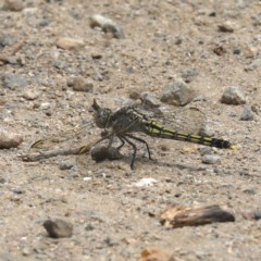 Orthetrum caledonicum (Blue Skimmer) at Tomakin, NSW - 15 Nov 2019 by jbromilow50