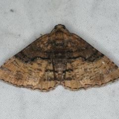 Aporoctena sp.(genus) (A Geometrid moth) at Rosedale, NSW - 15 Nov 2019 by jbromilow50