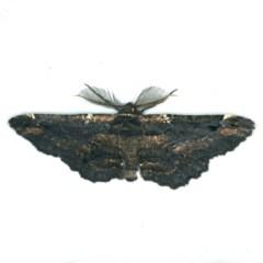 Pholodes sinistraria (Pholodes sinistraria) at Rosedale, NSW - 15 Nov 2019 by jbromilow50