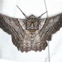 Hypobapta tachyhalotaria (Varied Grey) at Rosedale, NSW - 15 Nov 2019 by jbromilow50