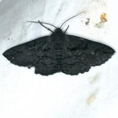 Melanodes anthracitaria (Black Geometrid) at Rosedale, NSW - 15 Nov 2019 by jbromilow50