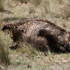 Vombatus ursinus (Wombat) at Mongarlowe River - 18 Nov 2019 by LisaH