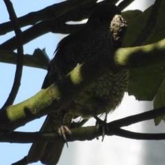 Ptilonorhynchus violaceus (Satin Bowerbird) at Berry, NSW - 18 Nov 2019 by Andrejs
