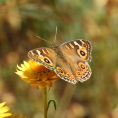 Junonia villida (Meadow Argus) at Mount Taylor - 15 Nov 2019 by MatthewFrawley