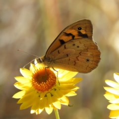 Heteronympha merope (Common Brown) at Mount Taylor - 15 Nov 2019 by MatthewFrawley