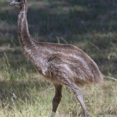 Dromaius novaehollandiae (Emu) at Cotter Reserve - 18 Nov 2019 by Marthijn