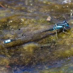 Ischnura heterosticta (Common Bluetail) at Isabella Pond - 19 Nov 2019 by Marthijn
