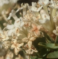 Pimelea glauca (Smooth Rice Flower) at Royalla, NSW - 19 Nov 2019 by MPennay