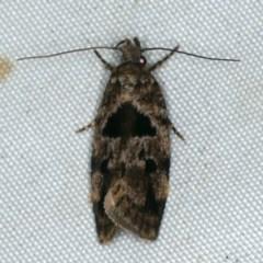 Barea melanodelta (A Barea Moth) at Rosedale, NSW - 15 Nov 2019 by jbromilow50