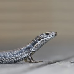 Eulamprus heatwolei (Yellow-bellied Water-skink) at Merimbula, NSW - 12 Nov 2019 by Leo