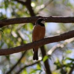 Pachycephala rufiventris (Rufous Whistler) at Mongarlowe, NSW - 18 Nov 2019 by LisaH