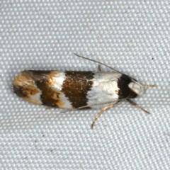 Euphiltra eroticella (A concealer moth) at Rosedale, NSW - 15 Nov 2019 by jbromilow50