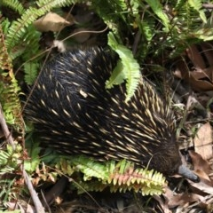 Tachyglossus aculeatus (Short-beaked Echidna) at Rosedale, NSW - 15 Nov 2019 by jbromilow50