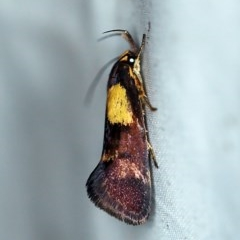 Enchronista proximella (A Concealer moth) at Rosedale, NSW - 16 Nov 2019 by ibaird
