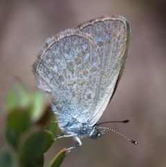Zizina otis (Common Grass-blue) at Mount Taylor - 20 Nov 2019 by Marthijn