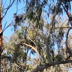 Callocephalon fimbriatum (Gang-gang Cockatoo) at Hughes Garran Woodland - 19 Nov 2019 by ruthkerruish