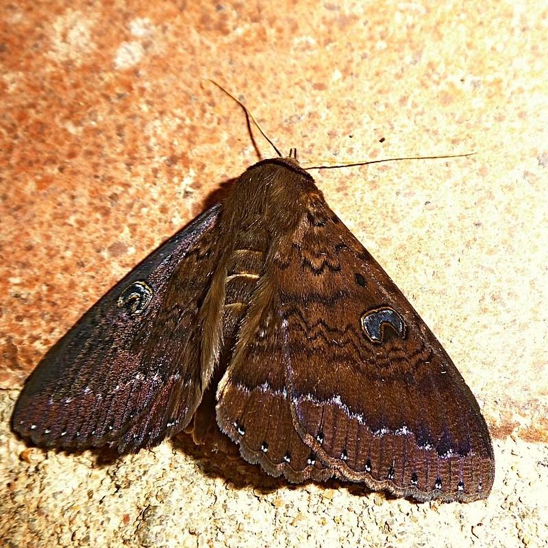 Dasypodia selenophora at Brogo, NSW - 20 Nov 2019