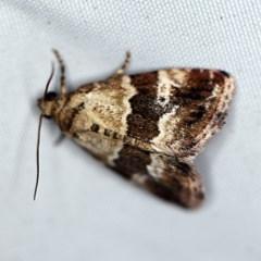 Maliattha signifera (A Noctuid moth) at Rosedale, NSW - 16 Nov 2019 by ibaird