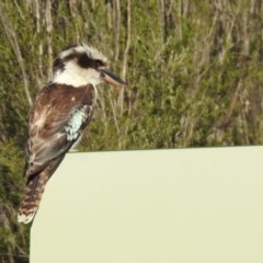 Dacelo novaeguineae (Laughing Kookaburra) at Tidbinbilla Nature Reserve - 18 Nov 2019 by RodDeb