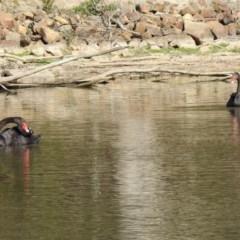 Cygnus atratus (Black Swan) at Tidbinbilla Nature Reserve - 18 Nov 2019 by RodDeb