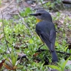 Eopsaltria australis (Eastern Yellow Robin) at Tidbinbilla Nature Reserve - 18 Nov 2019 by RodDeb