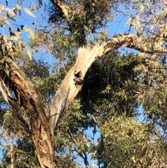 Callocephalon fimbriatum (Gang-gang Cockatoo) at Stirling Park - 20 Nov 2019 by Ratcliffe