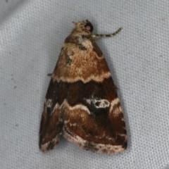 Maliattha signifera (A Noctuid moth) at Rosedale, NSW - 15 Nov 2019 by jbromilow50