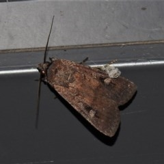 Agrotis infusa (Bogong Moth, Common Cutworm) at Wanniassa, ACT - 21 Nov 2019 by JohnBundock