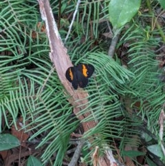 Tisiphone abeona (TBC) at Wingecarribee Local Government Area - 21 Nov 2019 by Margot