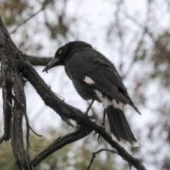Strepera graculina (Pied Currawong) at Bruce, ACT - 11 Nov 2019 by Alison Milton