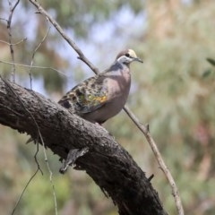Phaps chalcoptera (Common Bronzewing) at Bruce, ACT - 11 Nov 2019 by Alison Milton