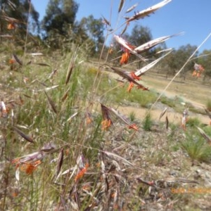 Rytidosperma pallidum at Sth Tablelands Ecosystem Park - 21 Nov 2019