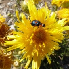 Dicranolaius villosus (Melyrid flower beetle) at Molonglo Valley, ACT - 30 Oct 2019 by AndyRussell