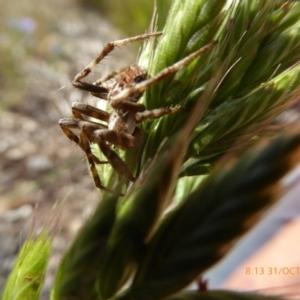 Araneus sp. (genus) at Molonglo Valley, ACT - 31 Oct 2019