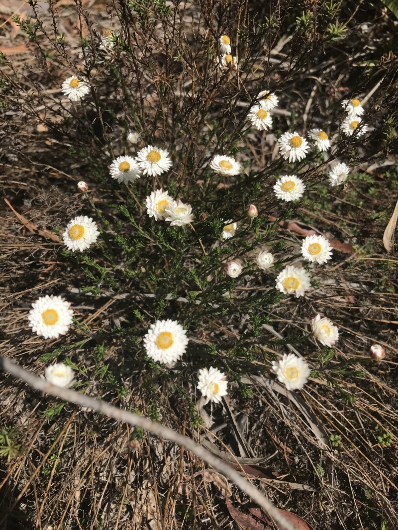 Helichrysum calvertianum at Mittagong, NSW - 5 Nov 2019