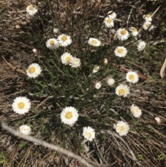 Helichrysum calvertianum (Everlasting Daisy) at Wingecarribee Local Government Area - 5 Nov 2019 by Margot