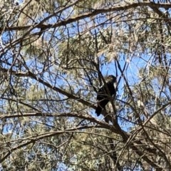 Calyptorhynchus lathami (Glossy Black-Cockatoo) at Woodlands - 11 Nov 2019 by haynesb