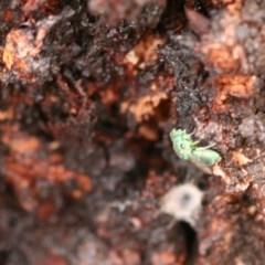 Chrysididae sp. (family) at Callum Brae - 22 Nov 2019