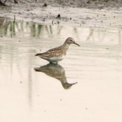 Calidris melanotos (Pectoral Sandpiper) at Jerrabomberra Wetlands - 21 Nov 2019 by RodDeb