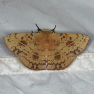 Anthela sp. (Genus) at Rosedale, NSW - 16 Nov 2019