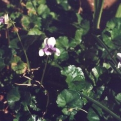Viola hederacea (Ivy-leaved Violet) at Conder, ACT - 30 Oct 2018 by michaelb