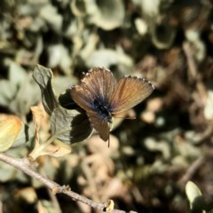 Theclinesthes serpentata (Saltbush Blue) at Wandiyali-Environa Conservation Area - 22 Nov 2019 by Wandiyali