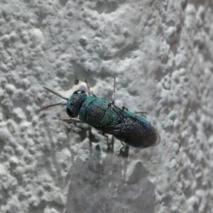 Chrysididae sp. (family) at ANBG - 17 Nov 2019