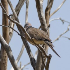Streptopelia chinensis (Spotted Dove) at Jerrabomberra Wetlands - 22 Nov 2019 by Marthijn