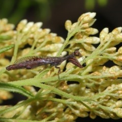 Mantispidae (family) (Unidentified mantisfly) at ANBG - 22 Nov 2019 by TimL