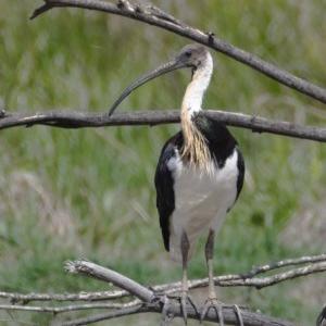 Threskiornis spinicollis at Jerrabomberra Wetlands - 23 Nov 2019