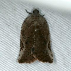 Meritastis ursina (A Tortricid moth) at Rosedale, NSW - 15 Nov 2019 by jbromilow50